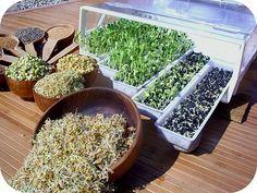 Dans notre alimentation, il est possible de consommer des graines germées, les avantages sont nombreux, par exemple, cela permet de profiter d'une production écologique, sans aucun engrais ni…