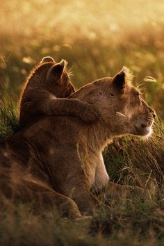 African Lion Mother and Cub, Tanzania. Photograph by Mitsuaki Iwago......PARTAGE OF PHILIPPE LOUIS......