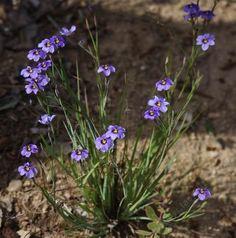 topanga canyon native plants - Google Search