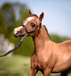 Here is strong competition for the smaller mare classes! A 2014 filly, she will should be successful in the show ring and later as a broodmare. Offered by Mini Horse Sales