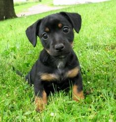Black and Tan Jack Russell Puppy