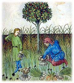 Raccolta dell'aglio - Tacuinum Sanitatis ( XV secolo )
