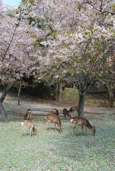 Deer in Nara Park Japan