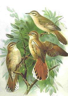 El alzacola rojizo (Cercotrichas galactotes)2 es una especie de ave paseriforme de la familia Muscicapidae que habita en el norte de África y el suroeste de Eurasia.
