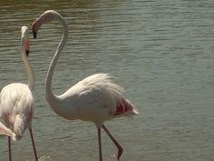 Flamingos - Camargue - France
