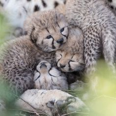 One of the cutest things I have ever seen! A pile of cheetah cubs, about 9 days old and still completely useless! They were just too adorable... #cheetah #cubs #instanature #bestmoments #wildlifephotography #babyanimals #bigcats #cutenessoverload #cute #igs_africa #instanaturefriends_ #bestoftheday #photooftheday #kleins #andbeyondsafari #serengeti #tanzania