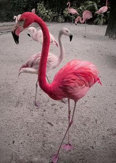 Pink Flamingo, I love Flamingos. The way they walk and just sashay around. Pretty Birds, Beautiful Birds, Animals Beautiful, Pretty In Pink, Cute Animals, Flamingo Art, Pink Flamingos, Flamingo Painting, Josie Loves