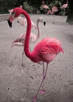 Pink Flamingo, I love Flamingos. The way they walk and just sashay around. Pretty Birds, Beautiful Birds, Animals Beautiful, Pretty In Pink, Flamingo Art, Pink Flamingos, Flamingo Painting, Animals And Pets, Cute Animals