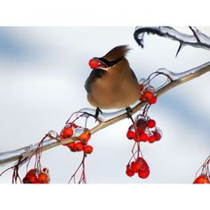 cedar waxwing....this is one of my favorite birds..I have been trying to attract them to my yard...no luck yet