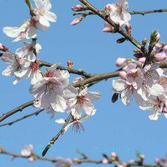 Süssmandel #spring
