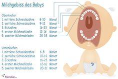 Das fertige Milchgebiss hat 20 Zähne. In unserer Zahnkalender-Infografik sehen Sie, in welcher Reihenfolge sie kommen Hätten Sie's gewusst? © vision net ag