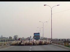 Long Bridge blocked by a herd of sheeps. Because for the shepherds the only way to go, with the herd of sheeps, from one side of a river to the other o. Funny Animals, Bridge, World, Youtube, Funny Animal, Bridges, The World, Hilarious Animals, Bro