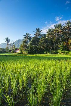 Padi Field in lake Toba, Sumatra, Indonesia, Southeast Asia