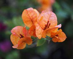 Orange Bougainvillea art print ~ delicate bougainvillea bracts surrounded by green foliage. www.ronablack.com
