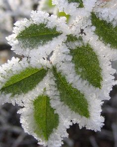 Hoar frost on green leaves. photo by jenny downing on Flickr