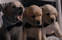 Three Puppies Yawning in Bow Ties | Gif Finder – Find and Share funny animated gifs