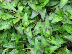 Vietnamese Mint Seeds Cllking Spice 100 Seeds by Mint Herb, Herb Seeds, Soups And Stews, Perennials, Spices, Tropical, Herbs, Vegetables, Perennial