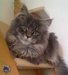 Nero, the Cat-Angel Cat Angel, Mystery, Cats, Animals, Maine Coon Cats, Gatos, Animales, Animaux, Animal