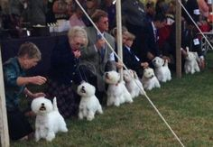 West Highland White Terriers lined up for judging. Precious picture!