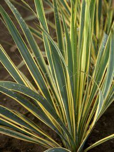 'Bright Edge' Adam's Needle (Yucca filamentosa 'Bright Edge')