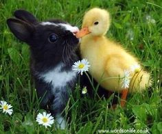 All Funny,Cute,Cool and Amazing Animals: Funny Duck Images-Pictures and Photos 2012 Beautiful Creatures, Animals Beautiful, Animals And Pets, Funny Animals, Funny Duck, Baby Ducks, Cute Kittens, Cute Little Animals, Adorable Animals