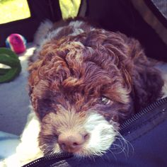 My Lagotto Puppy Nanna <3