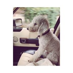 Little traveller  #giniethebedlington
