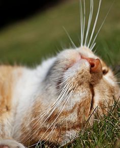 just relax & sunbathing Cute Cats And Kittens, I Love Cats, Crazy Cats, Cool Cats, Kittens Cutest, Pretty Cats, Beautiful Cats, Gato Calico, Red Cat