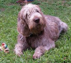 Spinone Italiani - is it just me is does this dog resemble. Goldendoodle? Cute!