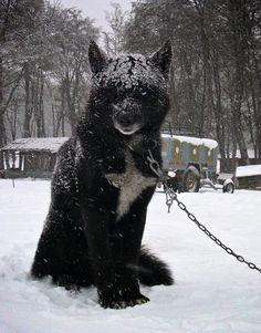 "A Black Wolf Hybrid:  The kind we imagine in the story: ""Red Riding Hood!"""