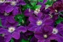 clematis-kukkii-1