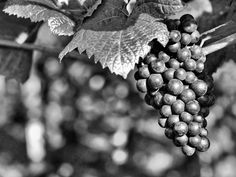 Weintrauben (Nikon / Ilford Pan F Plus Plus 50, Nikon, 50th, Fruit, Photography, Image, Beautiful, Photograph, Fotografie