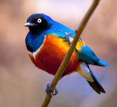 Superb Starling (Lamprotornis superbus)  photo by =deseonocturno