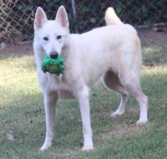 Name: PersephoneBreed: White German Shepherd mixApproximate Age: 2 yearsApproximate Weight: 65 lbs.Personality: Sweet and playfulObservations with Dogs: GoodObservations with Cats: Not yet testedObservations with Kids: GoodCurrently Living at:...