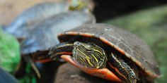 Painted turtle basking in the aviary