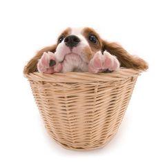 Artlist Collection THE DOG (Cavalier King Charles Spaniel) — Peek-a-boo!