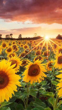 Grand Sunflower Field  #iPhone #5s #Wallpaper