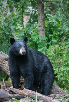 An alert black bear staring off into the distance.