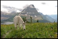 "Visual Bible #VerseoftheDay: Mountain Goat at the Hidden Lake Overlook, Glacier National Park, Montana and Psalm 145:21.  ""Let every creature praise.…"" http://visualverse.thecreationspeaks.com/every-creature/"