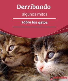 Derribando algunos mitos sobre los gatos  ¿Quién dijo que los gatos no son cariñosos? ¿o que abandonan a sus cuidadores? Sigue leyendo porque derribaremos algunos mitos sobre los gatos. #mitos #gatos #derribados #curiosidades