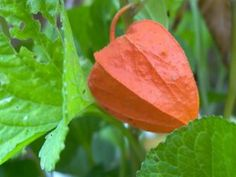 """100 CHINESE LANTERN (Winter or Ground Cherry / Japanese Lantern) Physalis Alkekengi Flower Seeds by Seedville. $2.00. PLANT HEIGHT:  18 - 24""""  . . .  PLANT SPACING:  24 - 36"""". The papery dried seed pods of this plant are wonderful for dried arrangements because they hold their color very well. Chinese Lanterns can be grown very easily in pots.. HARDINESS ZONE:  2 - 10  (and reseeds itself easily). LIGHT REQUIREMENTS:  Sun  . . .  SOIL / WATER:  Average. BLOOM TIM..."""