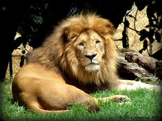 Lion from #Auckland Zoo