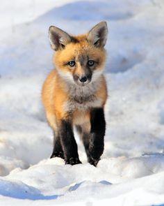 Red Fox Kit in Snow