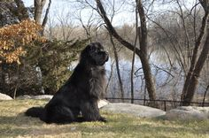 """170lbs of """"Aww..."""" Our big boy just turned 5 today!"""