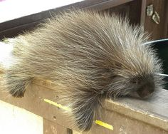 Cute Porcupine Guy by Treasure Tia, via Flickr A porcupine is a rodent.