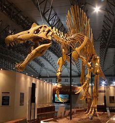 Squelette fossile de spinosaurus.