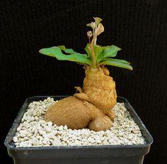 Euphorbia moratii,Caudex,Ariocarpus,Bulb