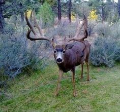 Responsible hunting, game management and wildlife conservation are important aspects of any wild game hunting, but many find the challenge of deer hunting to be the most challenging. Here are some ideas and deer hunting tips to make y Mule Deer Buck, Mule Deer Hunting, Deer Pictures, Animal Pictures, Deer Pics, Wildlife Photography, Animal Photography, Big Deer, Deer Family