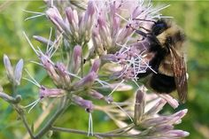 Are bumblebees endangered?