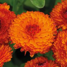 Calendula 'Neon' Eye catching burgundy flower buds open to reveal bright orange petals tipped and edged with deep red.  Good for borders and cutting. Grows to 28″ tall. Full Sun. Annual